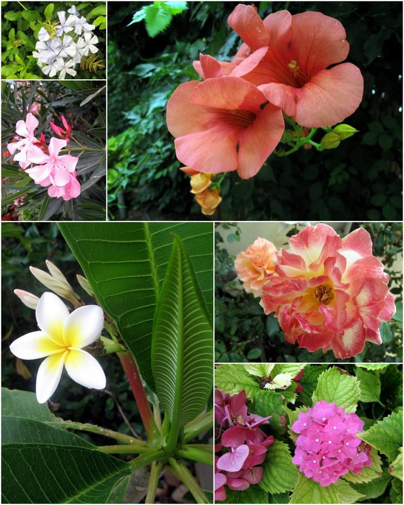 Großes Bild: Amerkiansiche Klettertrompete; Kleine Bilder im Uhrzeigersinn: Rose; Hortensie; Frangipani; Oleander; Bleiwurz.