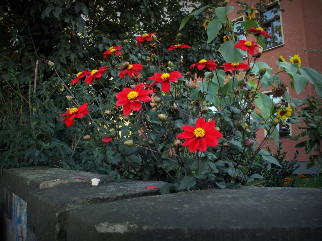 Großenhainer Straße 30, Blumen im Pfarrgarten.