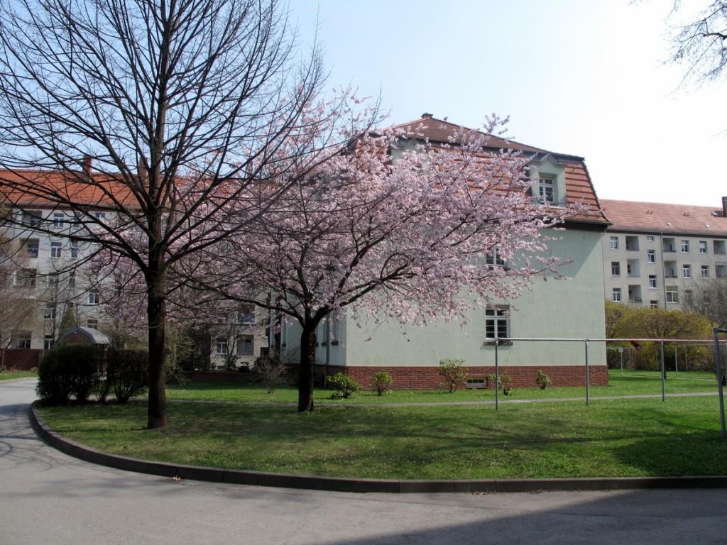 Blütenbaum im Innenhof der Siedlung Hansastraße, Dresden.